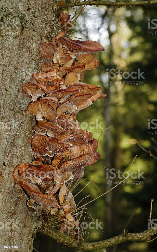 Honey fungus mushrooms stock photo