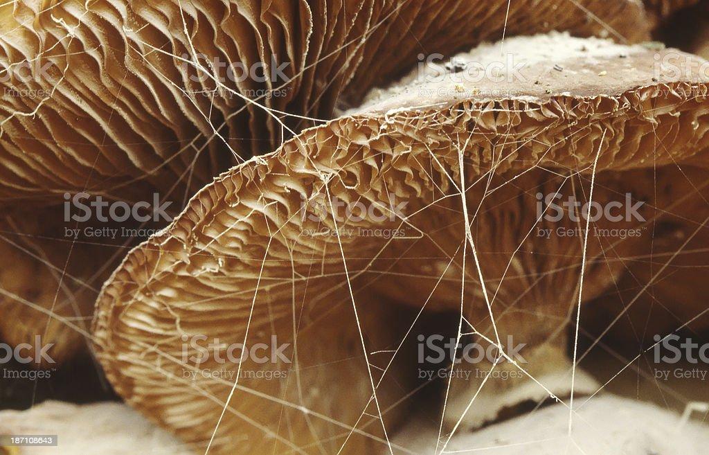 Honey Fungus (Armillaria mellea) stock photo
