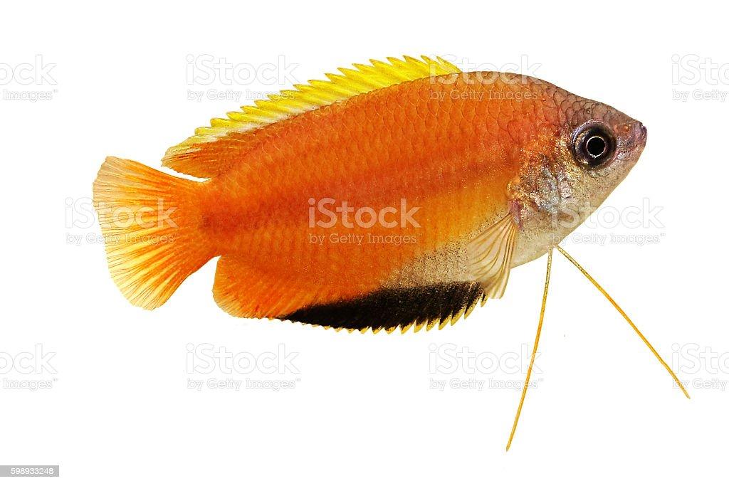 Honey gourami Trichogaster chuna tropical aquarium fish isolated on white stock photo