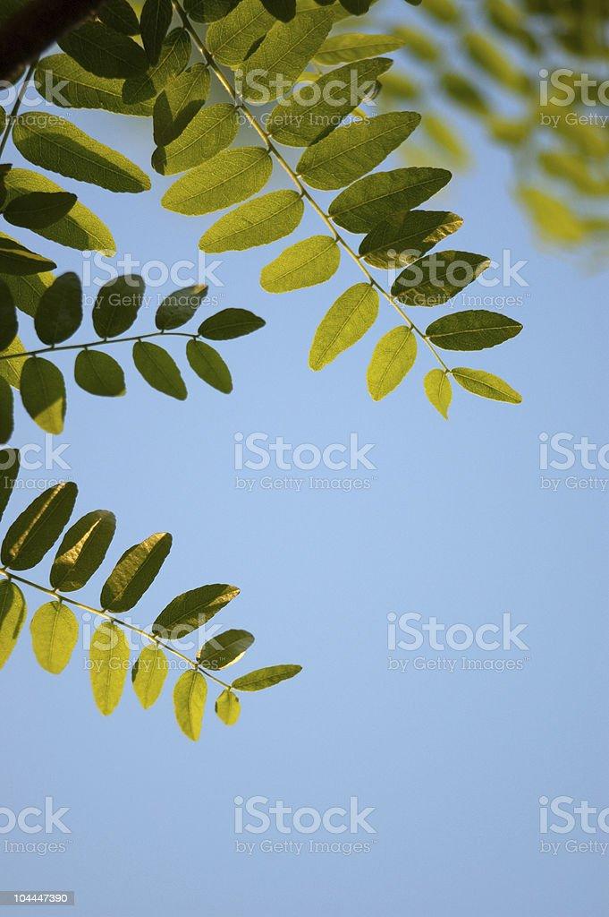 Honey Locust Leaves royalty-free stock photo