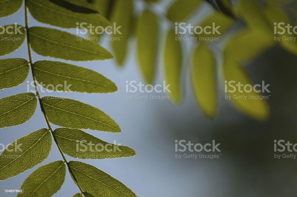 Honey Locust Leaves stock photo