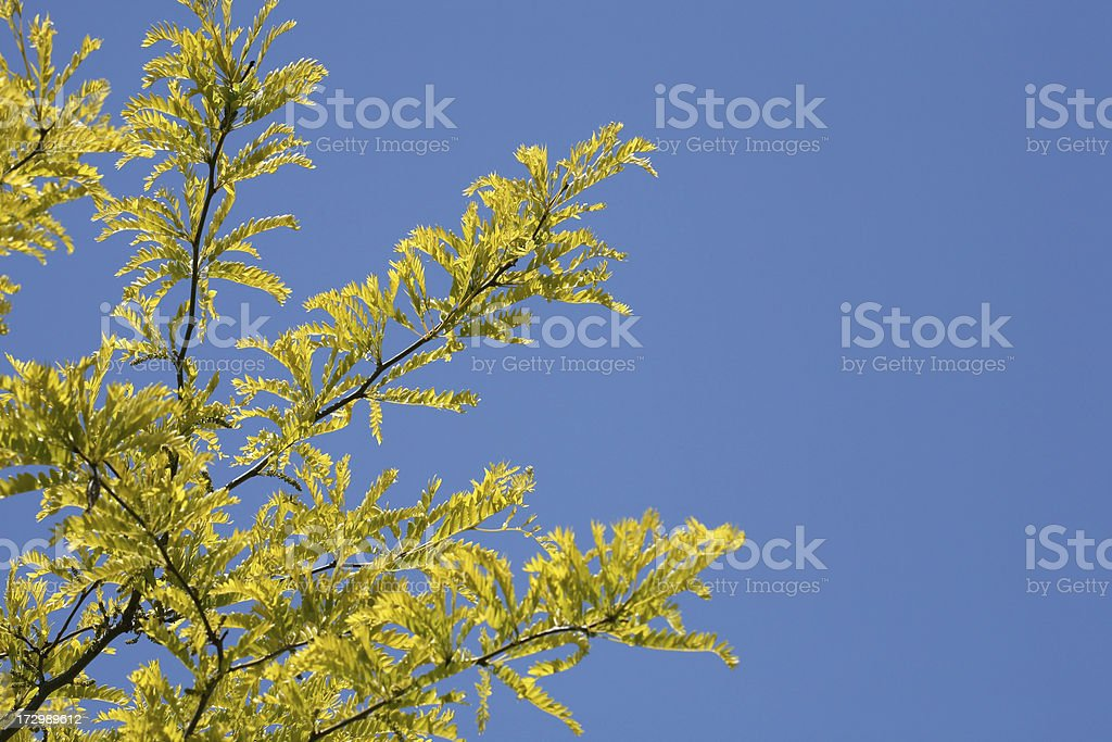 Honey Locust Tree royalty-free stock photo