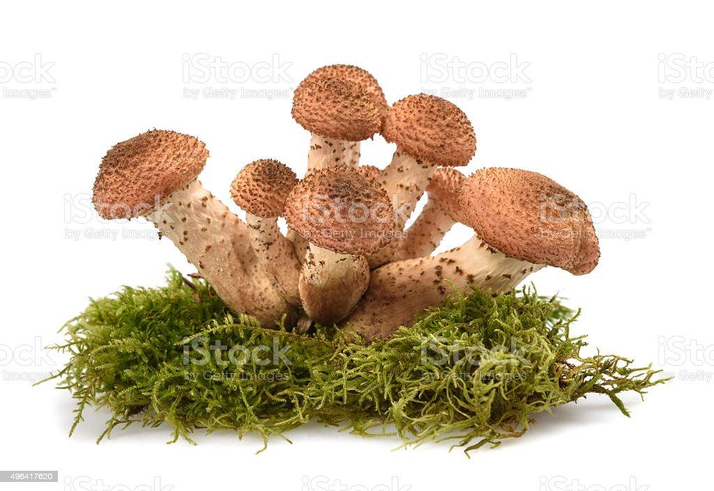 honey mushroom stock photo