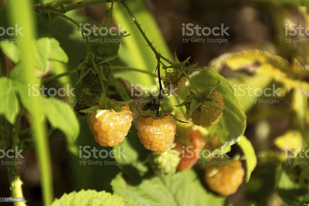 Honey Queen raspberries on plant. royalty-free stock photo