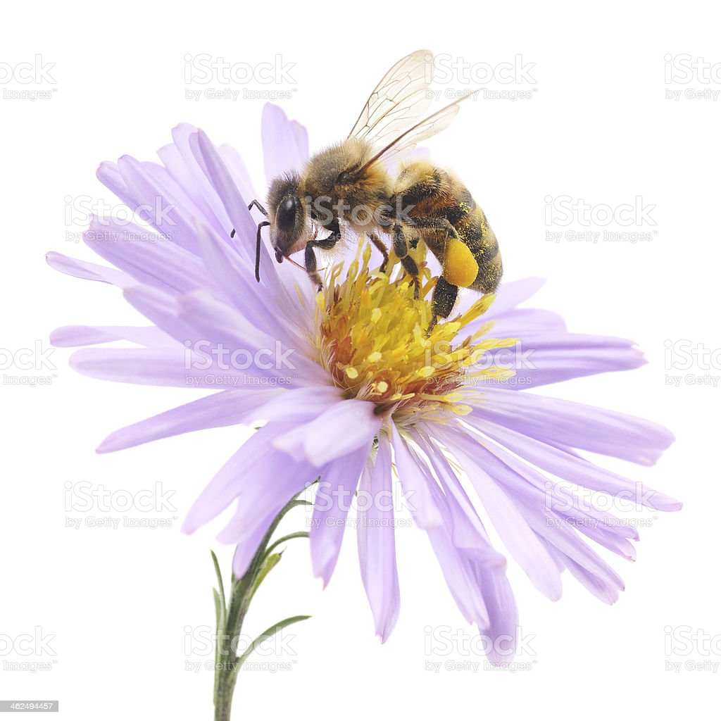 Honeybee and blue flower stock photo