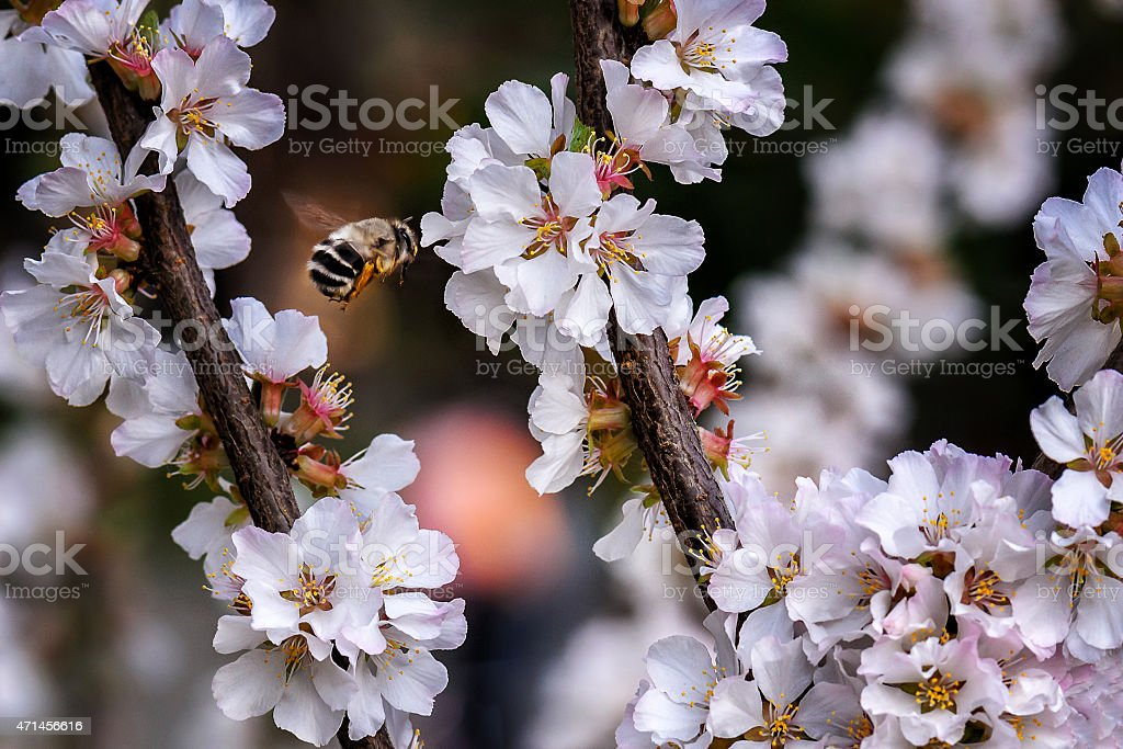 Honeybee e flores foto royalty-free