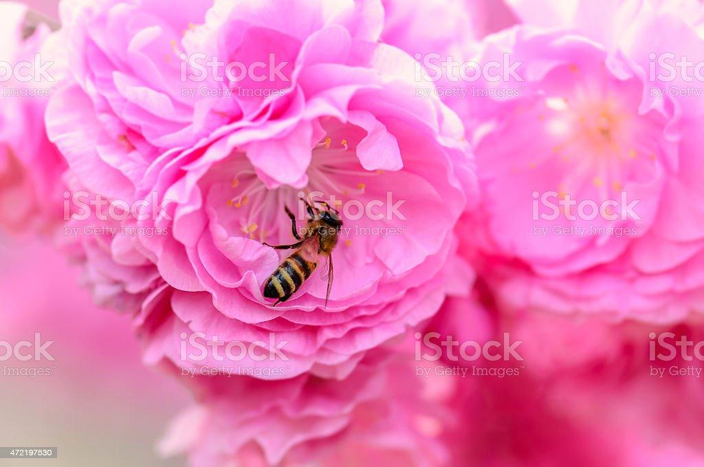 Honeybee e flores foto royalty-free