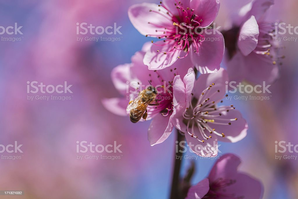 Honeybee and Spring Flower royalty-free stock photo