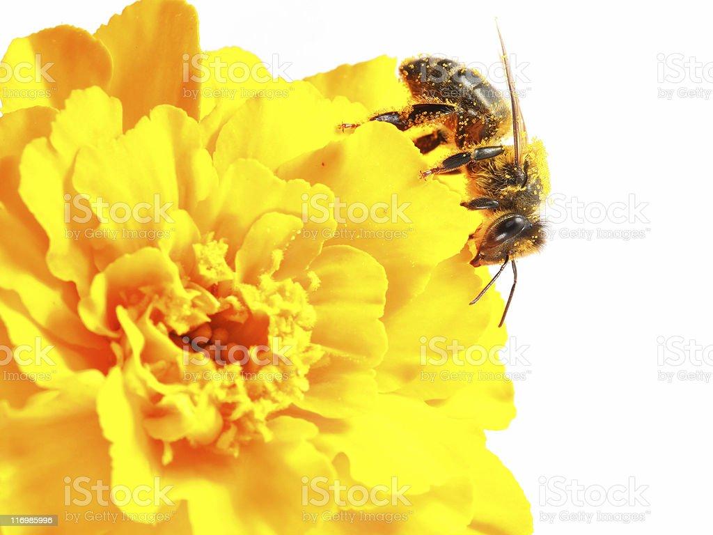 Honeybee and yellow marigold royalty-free stock photo