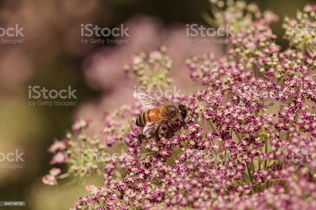 Honeybee, Apis mellifera, gathers pollen stock photo