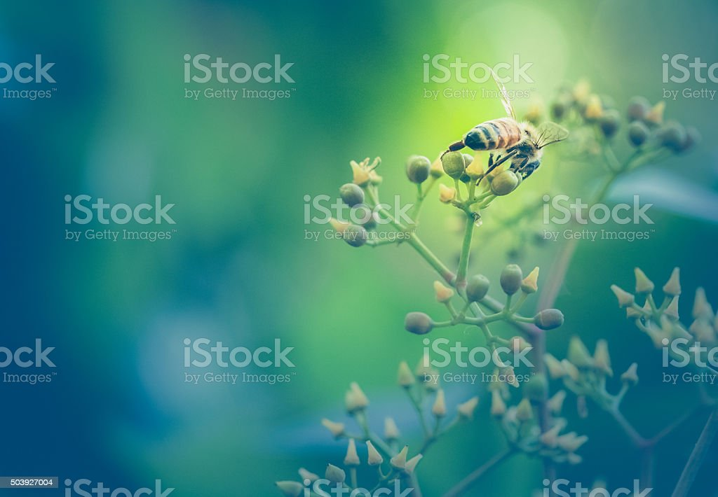 Honeybee At Work Gathering Nectar - Rear View stock photo