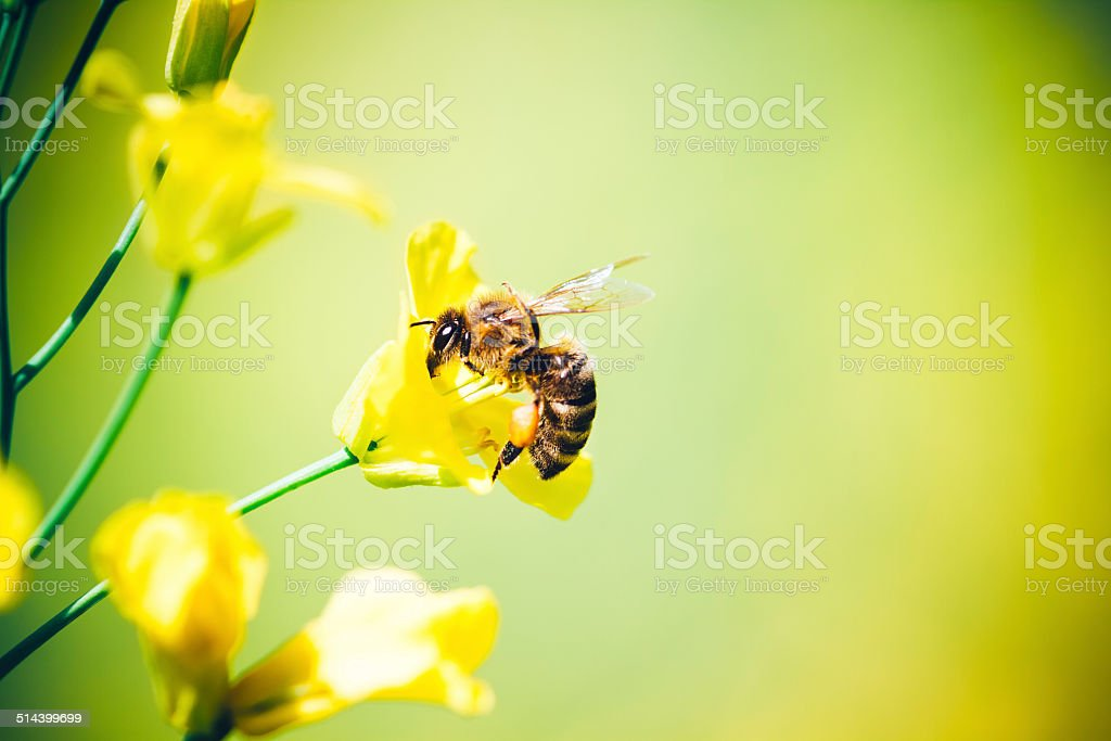 Honeybee At Work stock photo