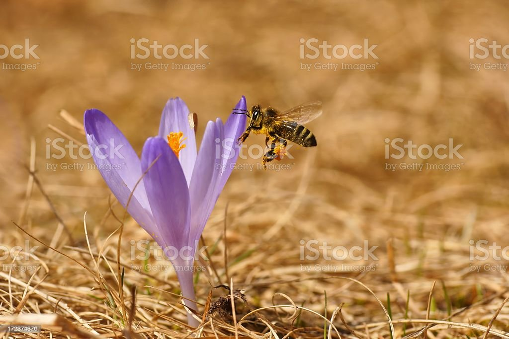 Honeybee (Apis mellifera), bee flying over the crocus royalty-free stock photo