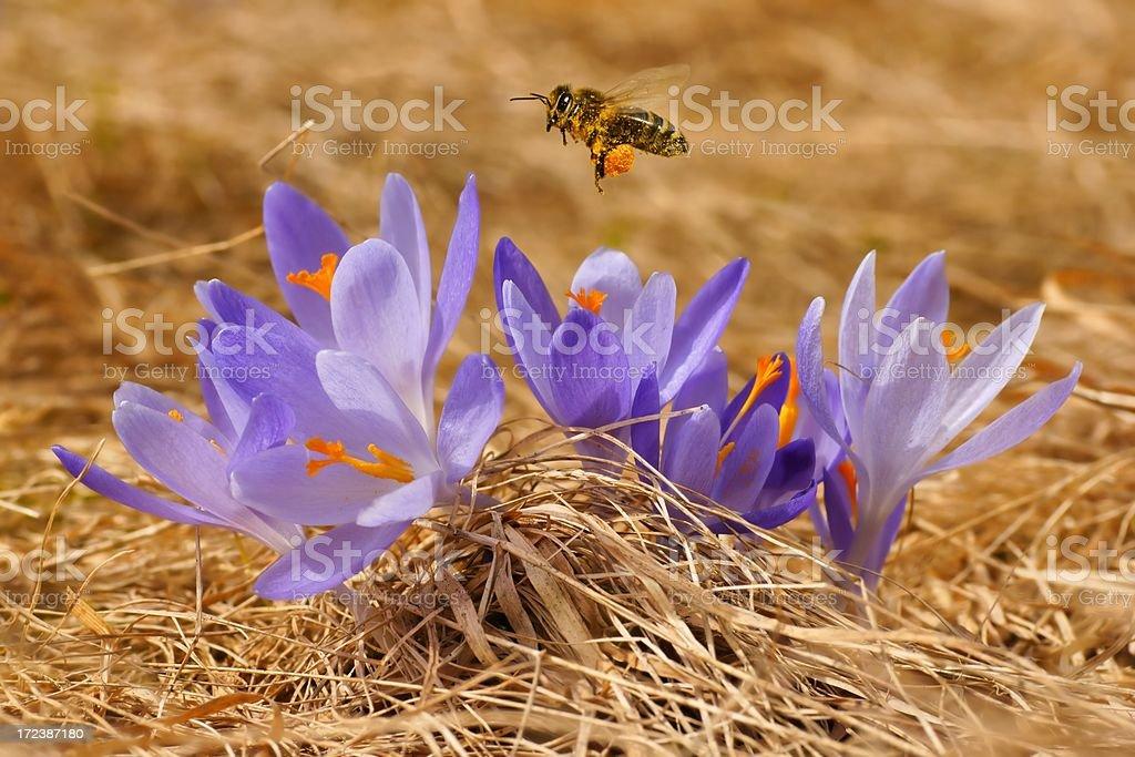 Honeybee (Apis mellifera), bee flying over the crocuses stock photo