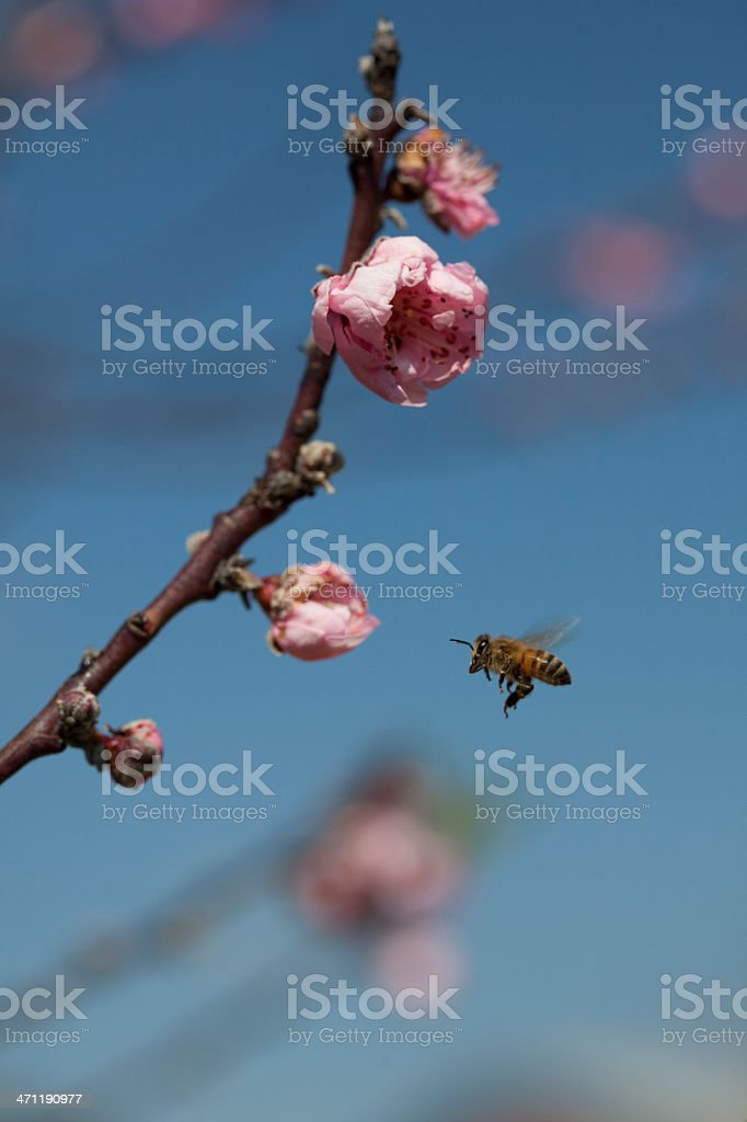 Honeybee Cherry Tree Spring Flowers Blue sky summer royalty-free stock photo