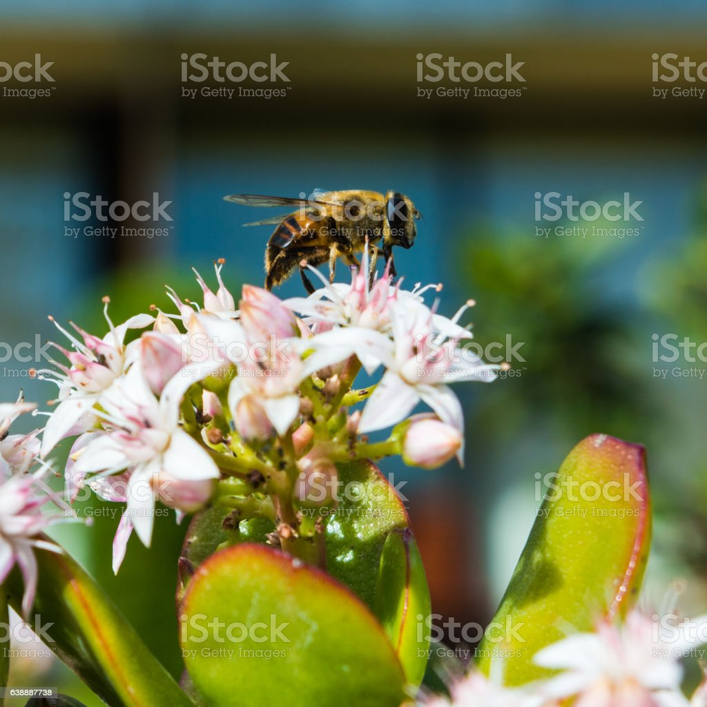 Honeybee Collecting Pollen From a Jade Plant stock photo