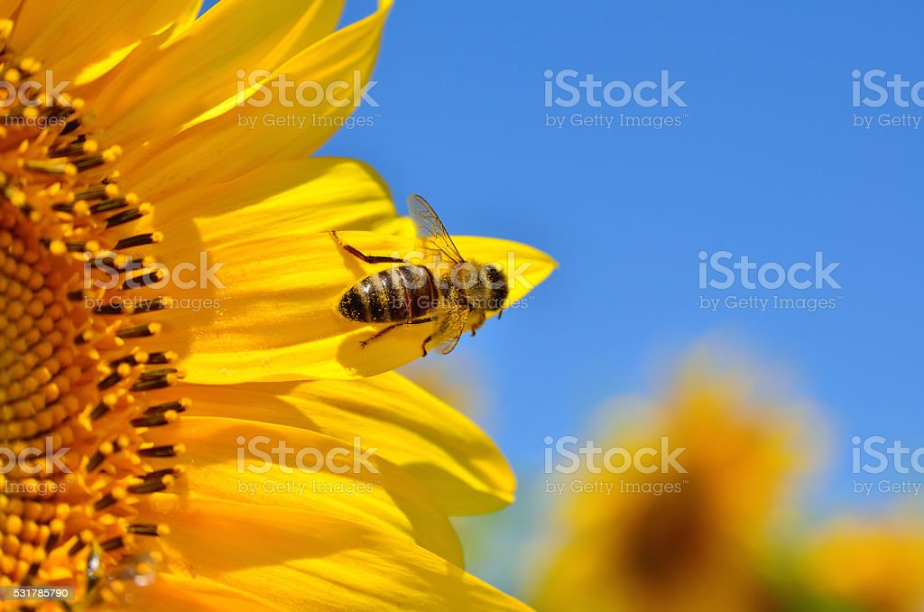 Honeybee collects nectar on the flowers of a sunflower stock photo