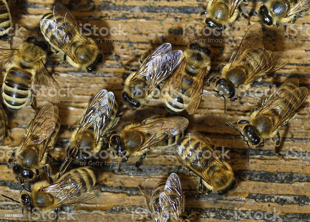 Honeybee come into hive. royalty-free stock photo