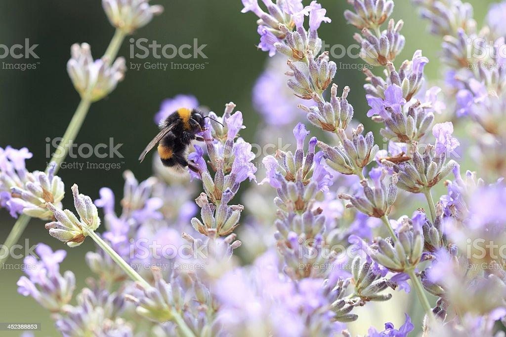 Honeybee enjoys a field of lavender royalty-free stock photo
