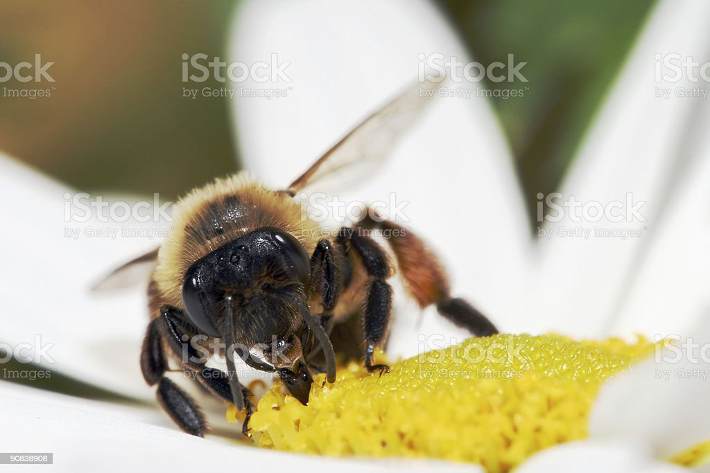 Honeybee extreme macro stock photo