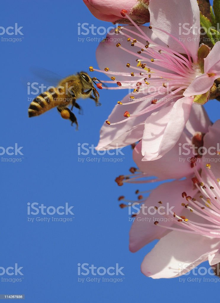 A honeybee flying close to pink flowers on a clear day stock photo