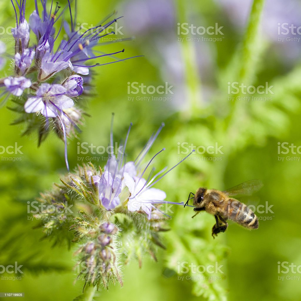 Honeybee flying to flower royalty-free stock photo