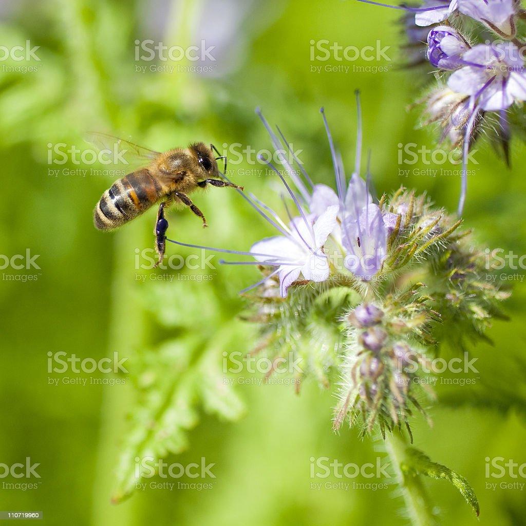 Honeybee flying to flower royalty-free stock photo