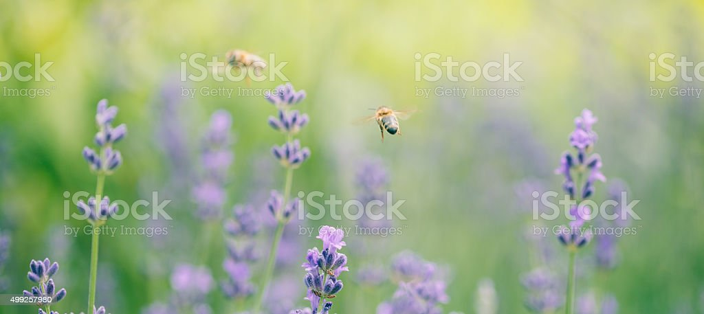 Honeybee flying to lavender flower stock photo