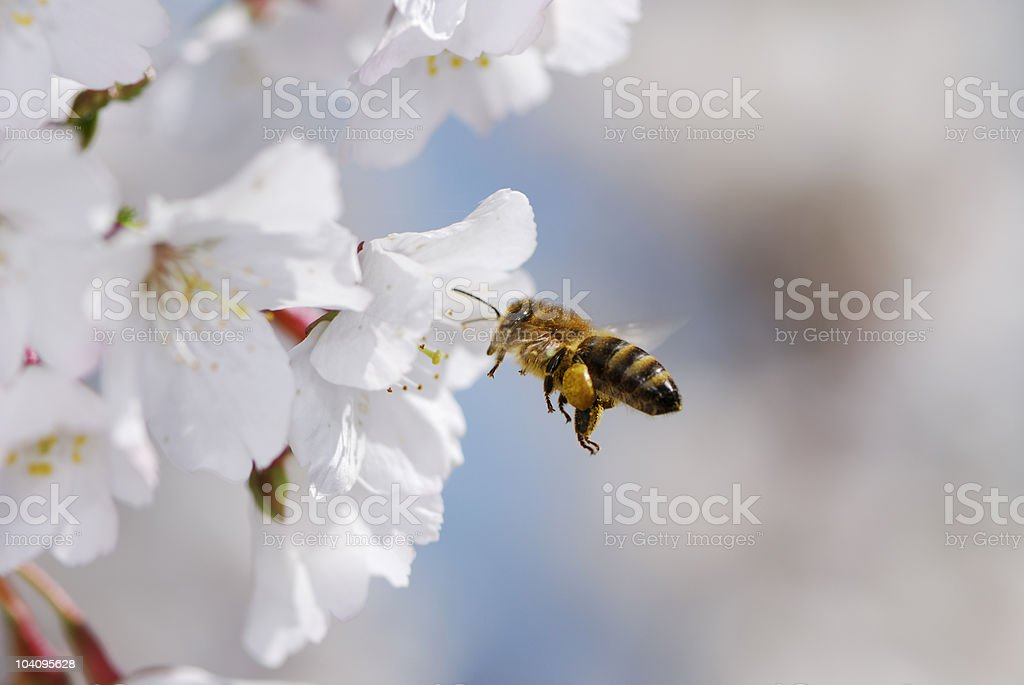 Honeybee flying towards white flowers stock photo
