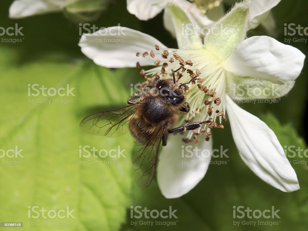 Honeybee in a blackberry blossom 01 stock photo