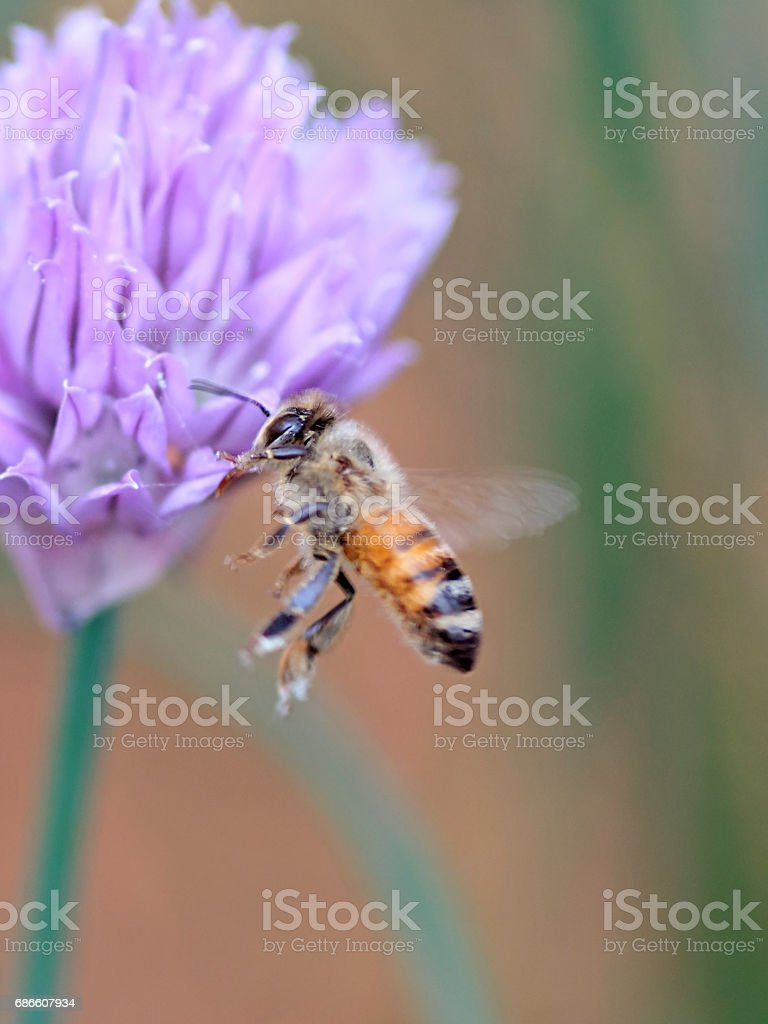 Honeybee in Flight stock photo