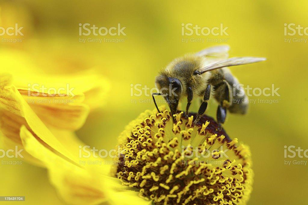 Honeybee on a yellow sun bride royalty-free stock photo