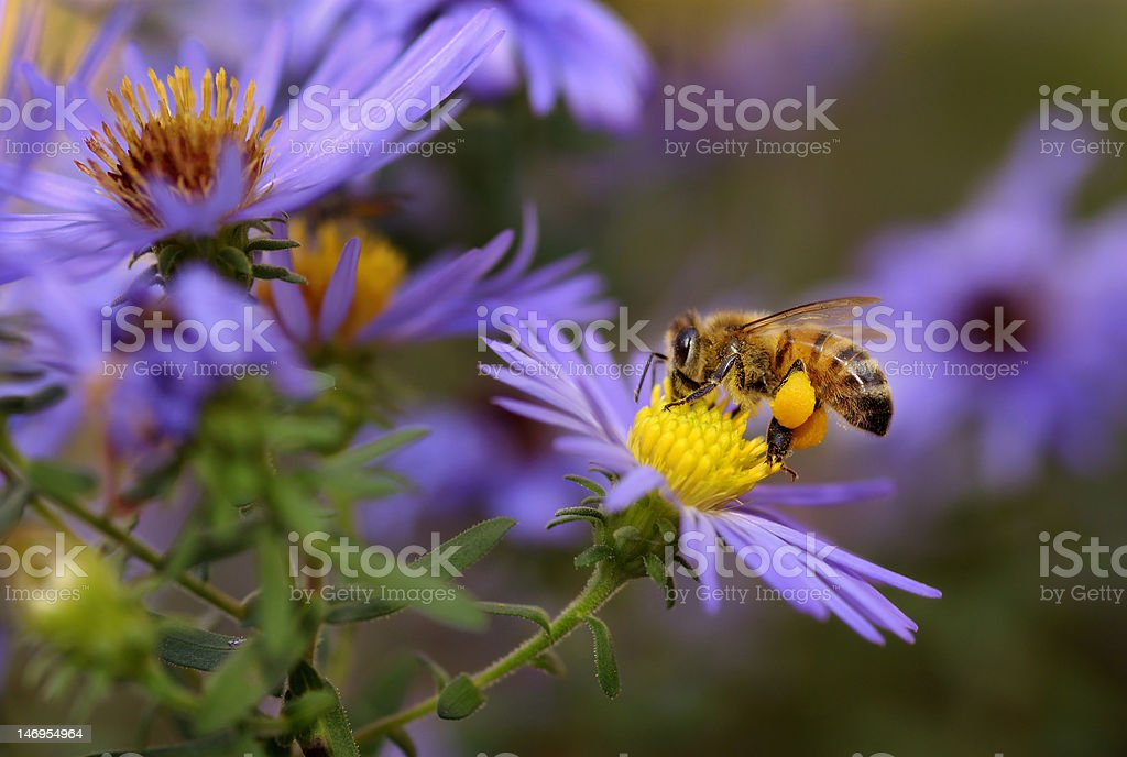 Honeybee on aster stock photo