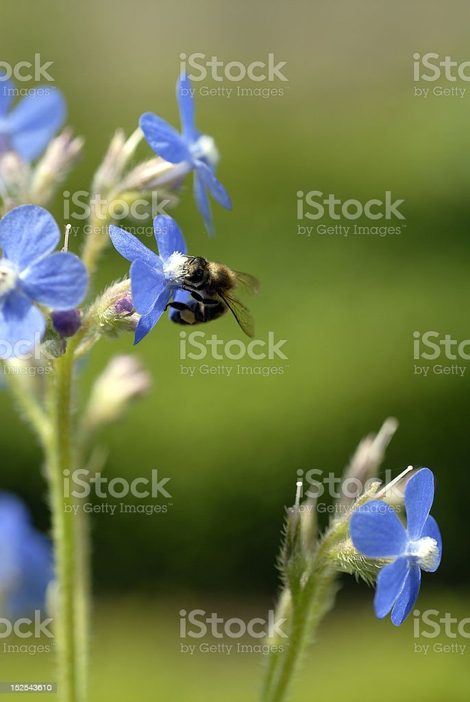 Honeybee on blue flower royalty-free stock photo