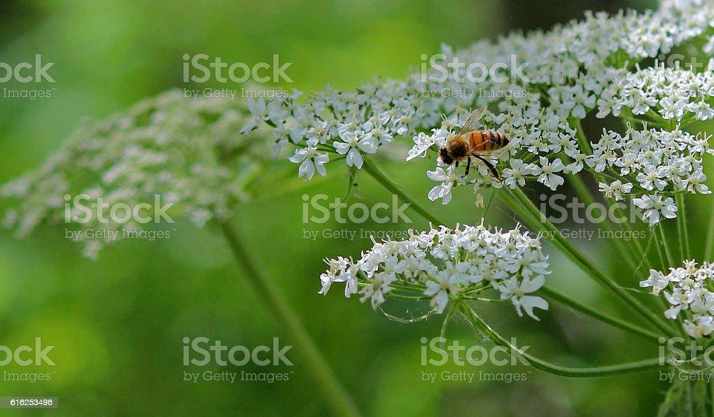 Honeybee on Cow Parsnip stock photo