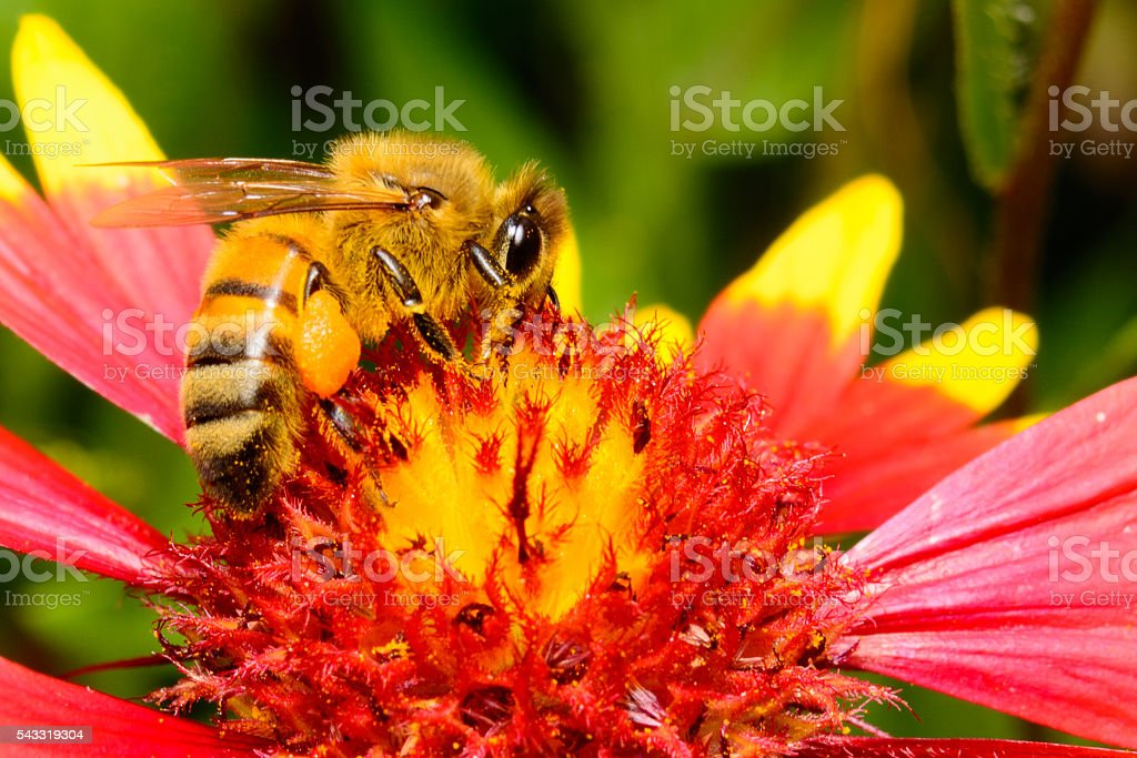 Honeybee on Firewheel Flower stock photo