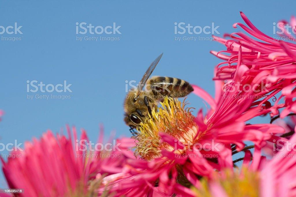 Honeybee on flowers royalty-free stock photo