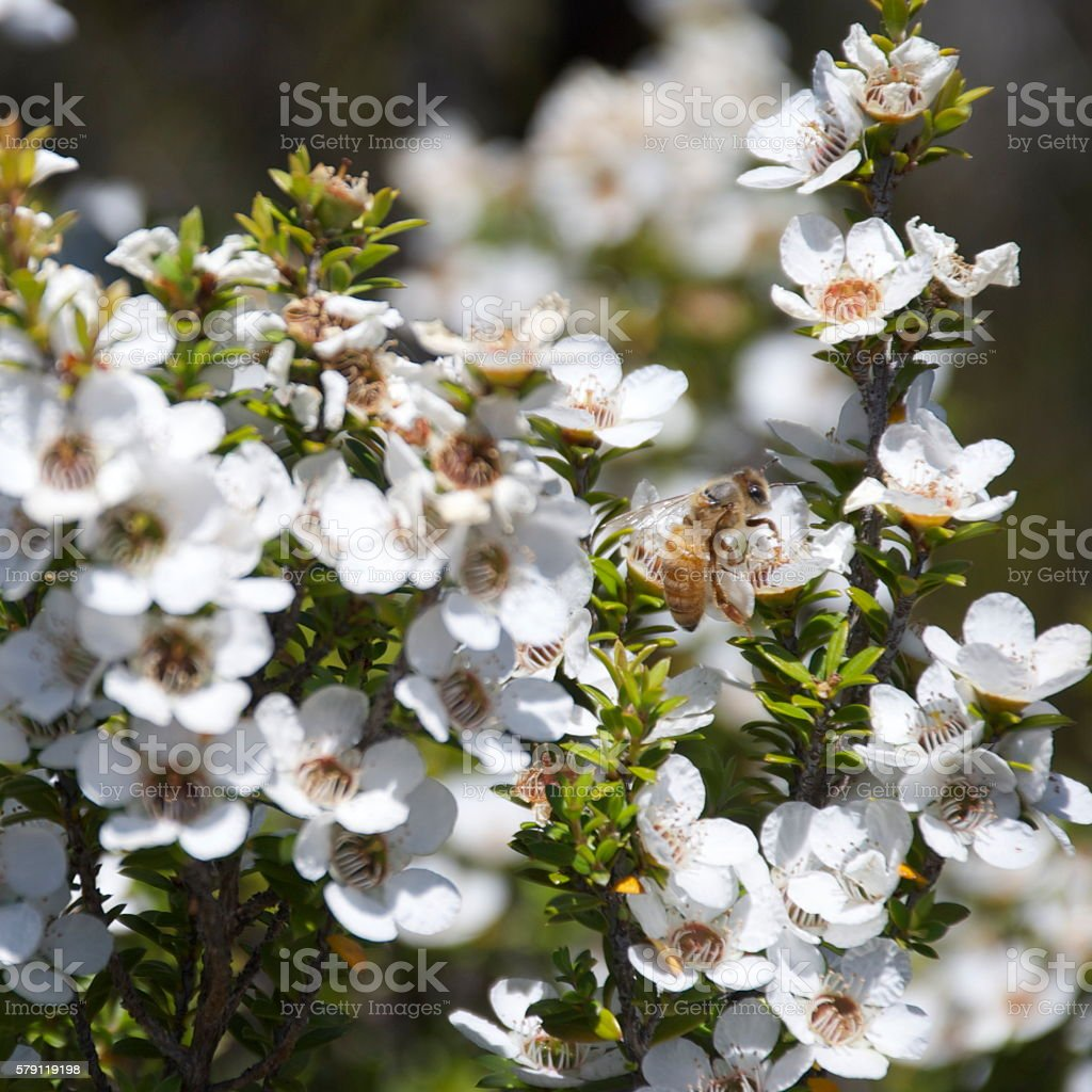 HoneyBee on Manuka (Leptospermum scoparium) Tea Tree stock photo