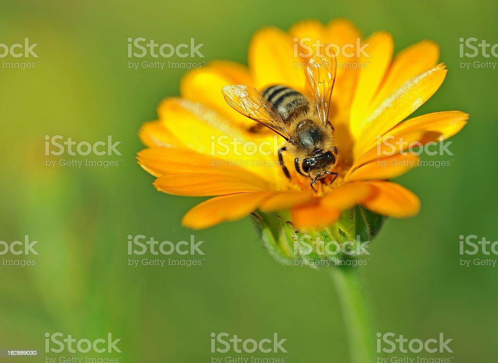 Honeybee on Marigold royalty-free stock photo
