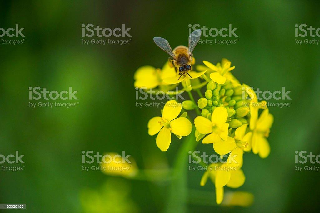 Honeybee on mustard flowers stock photo