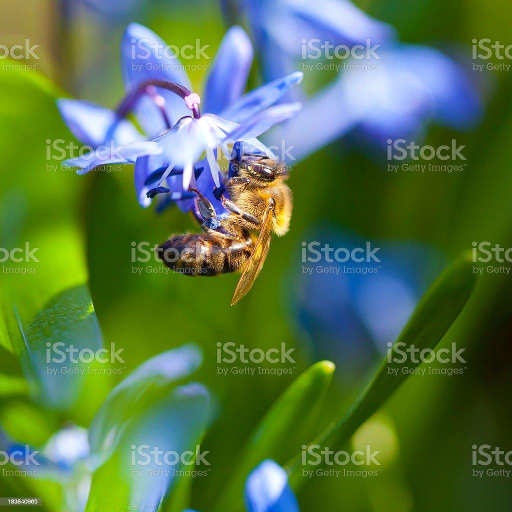 Honeybee on Scilla stock photo