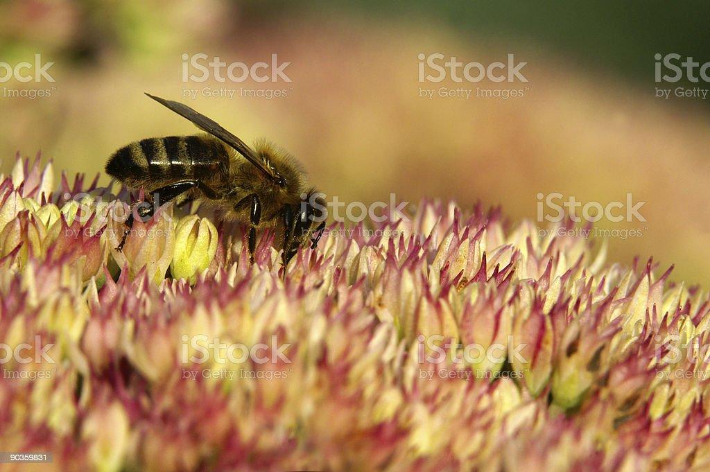 Honeybee on stonecrop stock photo