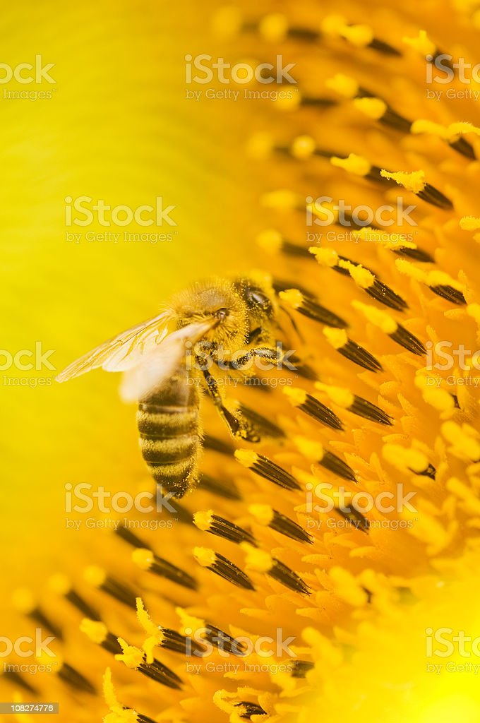 Honeybee on sunflower - detail stock photo