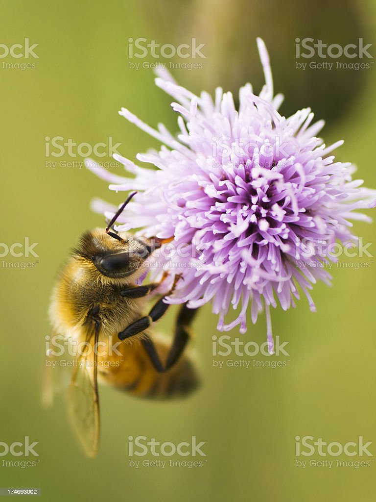 Honeybee on thistle stock photo