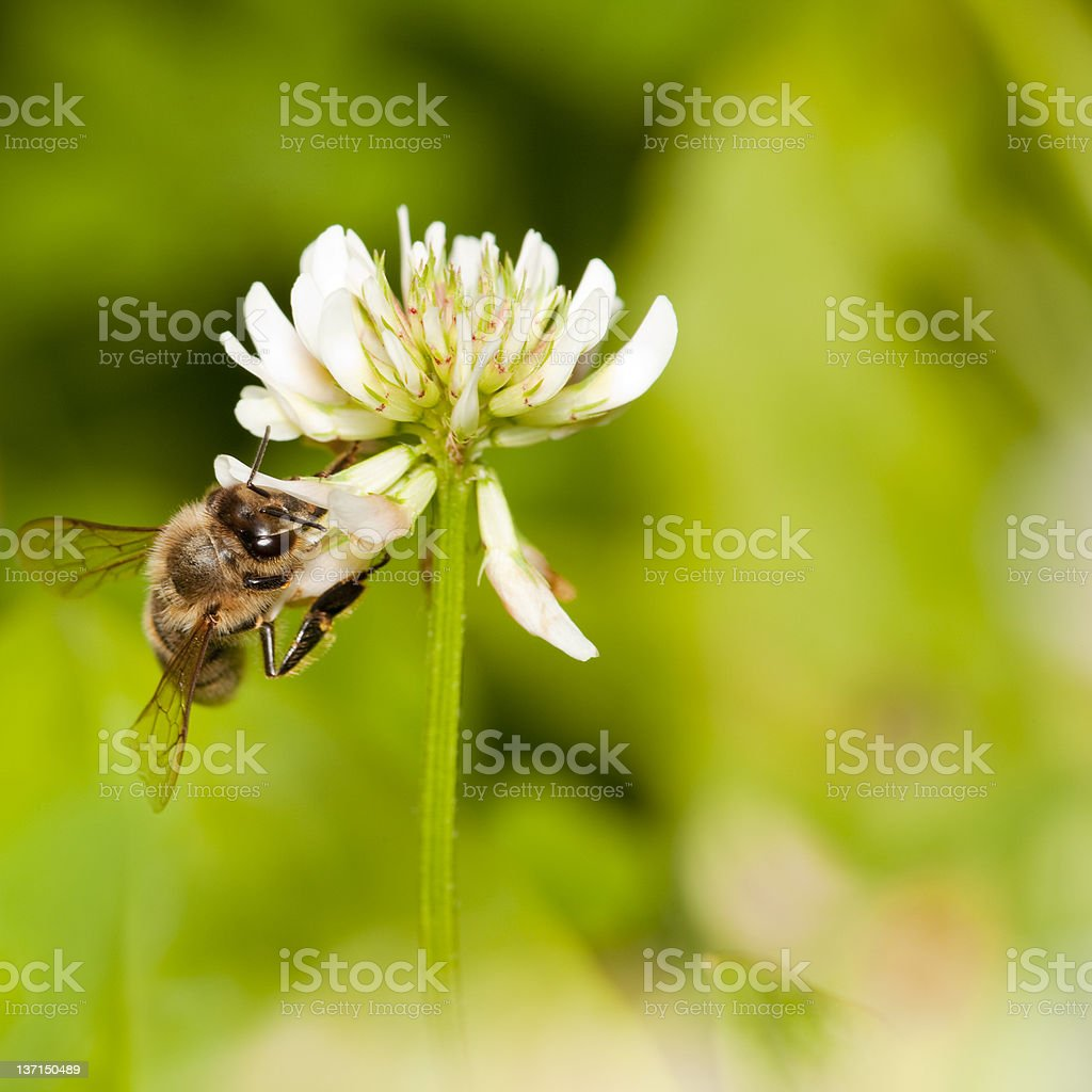 Honeybee on white clover royalty-free stock photo