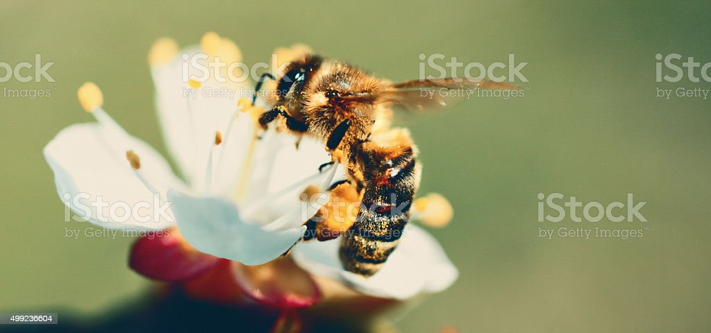 Honeybee on  white flower. stock photo
