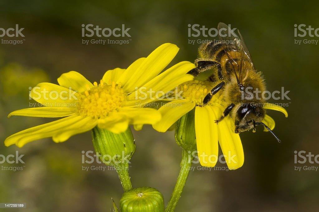 ハチミツ-ハナバチ ロイヤリティフリーストックフォト