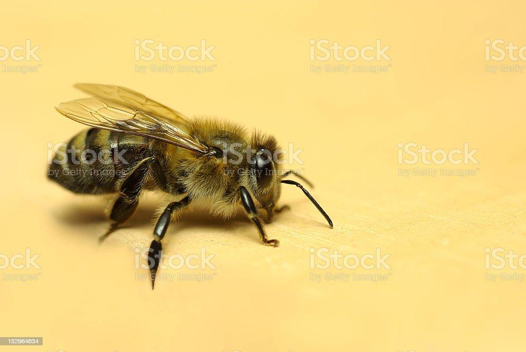 honeybee, royalty-free stock photo
