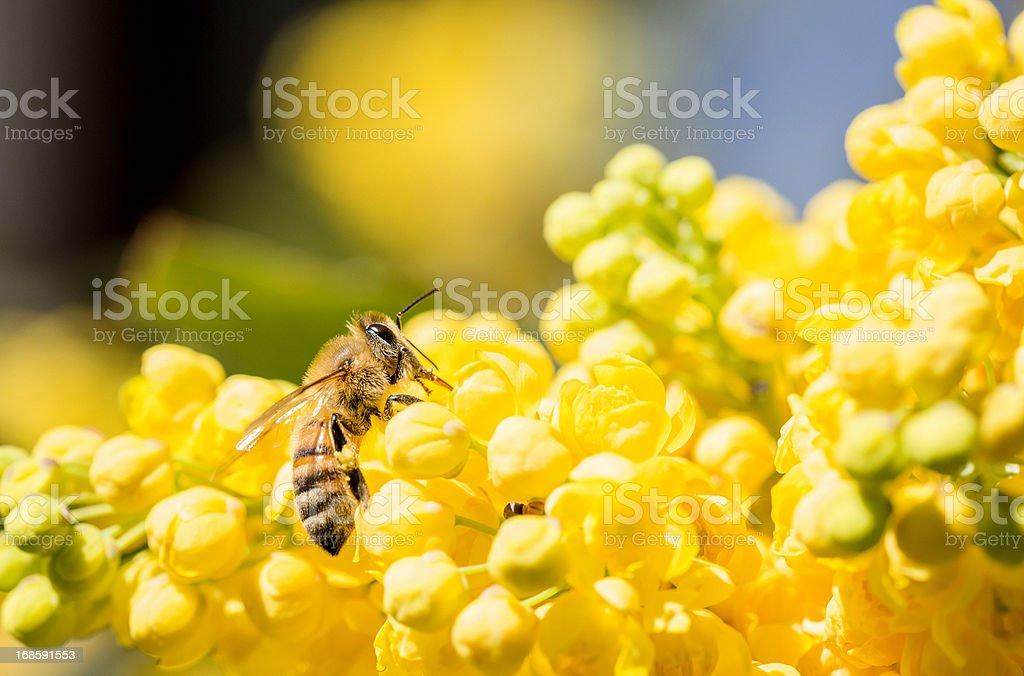 Honeybee royalty-free stock photo