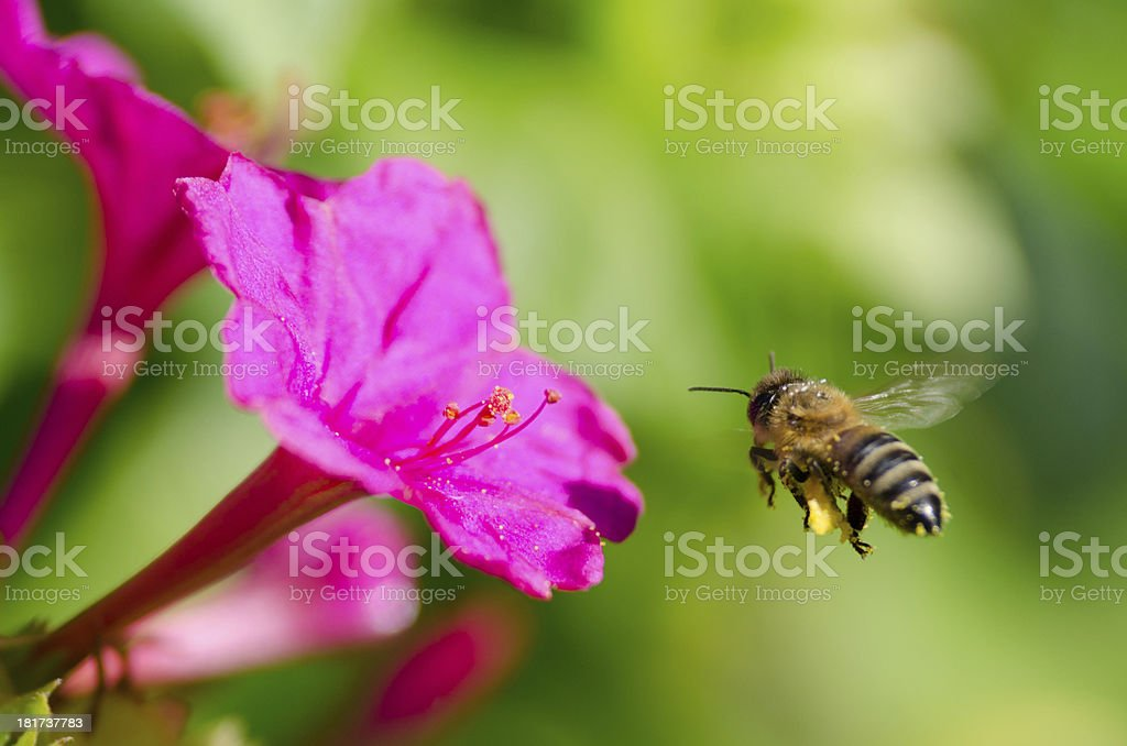 honeybee pollinated of flower royalty-free stock photo